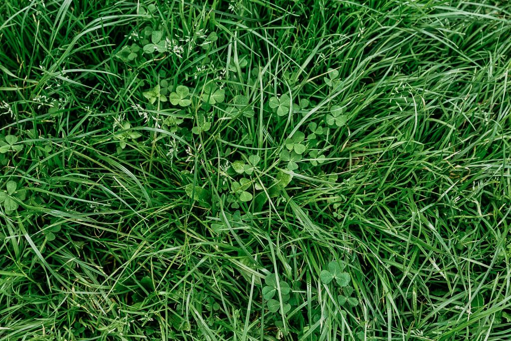 Spot Clover Weeds In Your Yard - A Common Illinois Lawn Weed