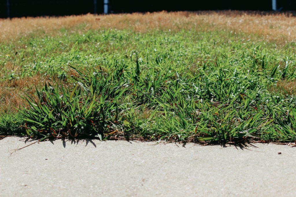 Crabgrass Lawn Weed - Broadleaf Weeds