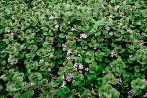 Treat & Identify Creeping Charlie - A Broadleaf Lawn Weed