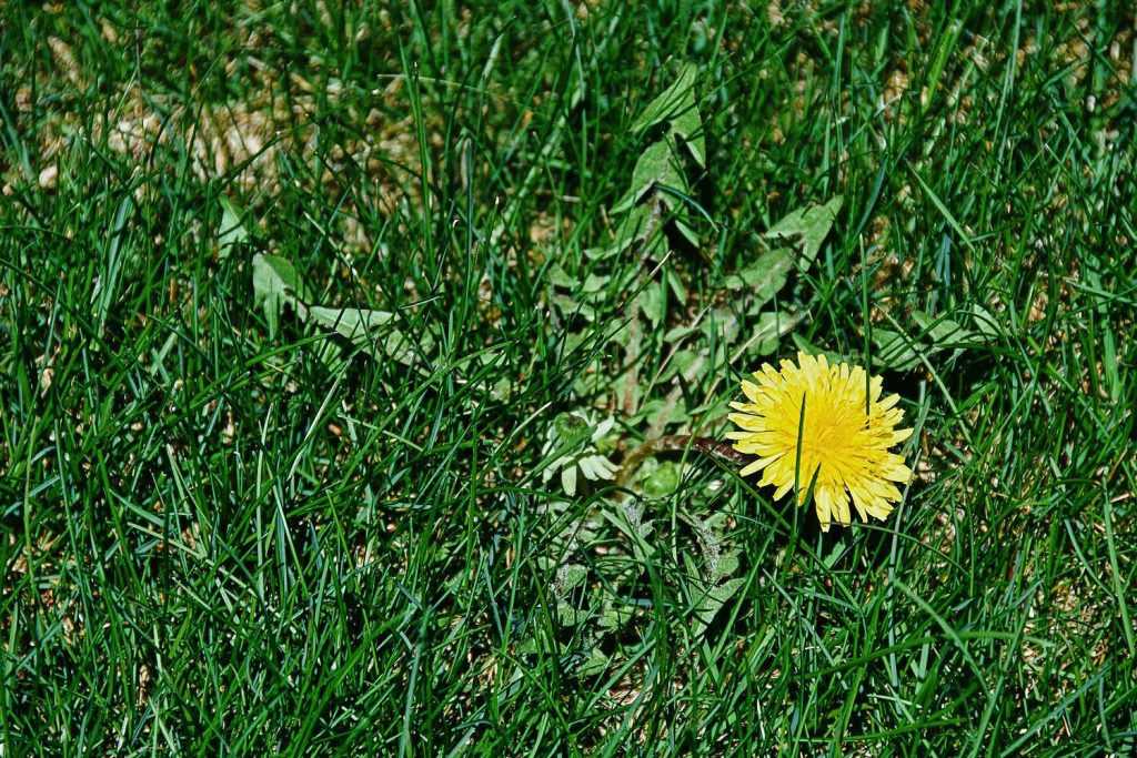 Identify Dandelion Weeds - Common Illinois Grass Weed