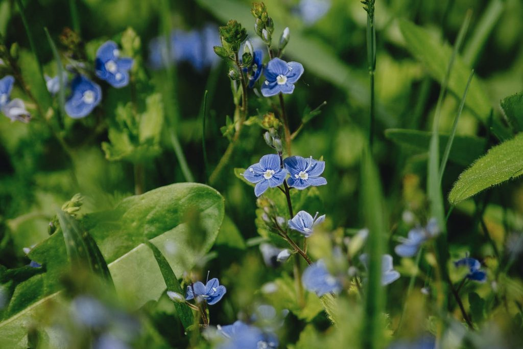 Identify Speedwell Weeds - A Common Illinois Lawn Weed