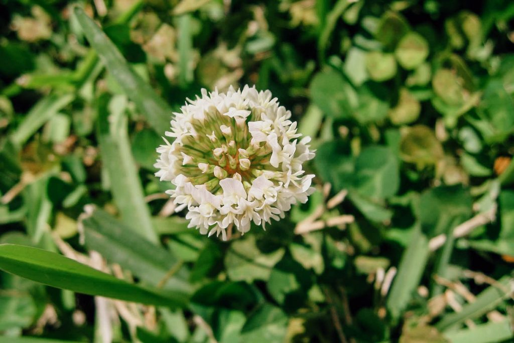 Find & Identify White Clover Weeds - A Common Illinois Lawn Weed